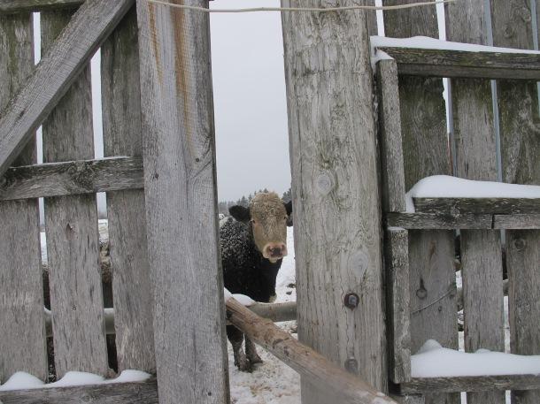 Vaches Québec