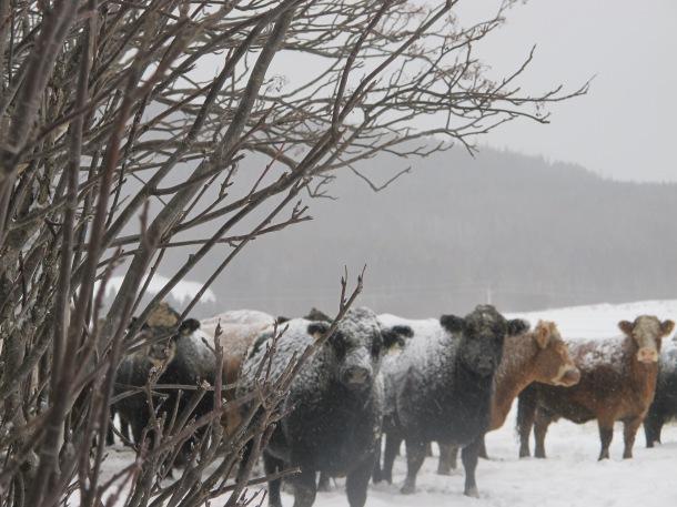 Vaches Québec2